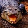 Óriás krokodil videón!