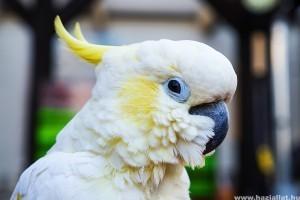 Frostie, a táncoló kakadu - vicces videó