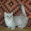 A munchkin macskafajta rövid története