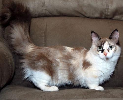 munchkin-cica