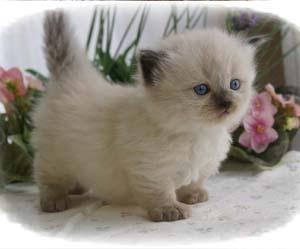 munchkin-macska