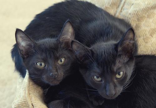 fekete-cicanevek