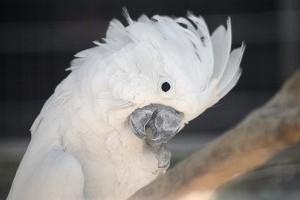 Milyen madár a kakadu?