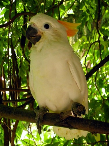 narancsbobitas-kakadu