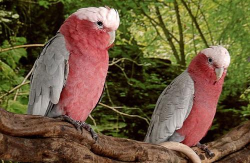rozsas-kakaduk