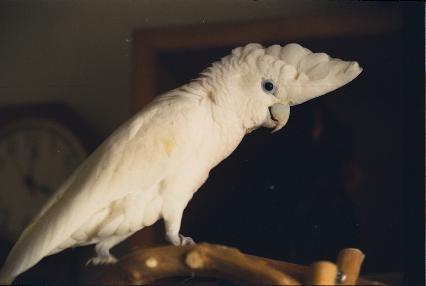 salamon-szigeteki-kakadu