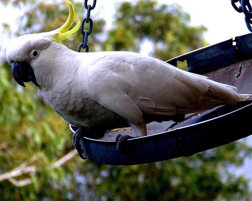 ausztraliai-kakadu