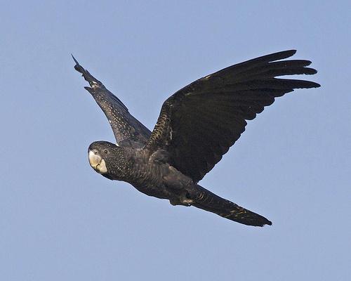 fekete-kakadu