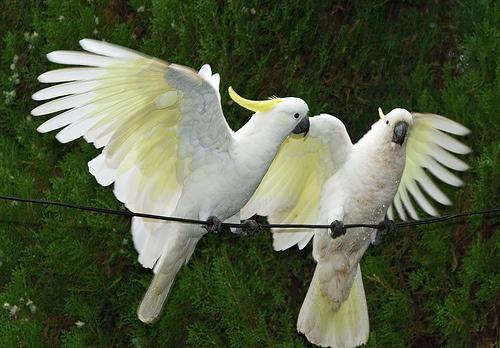 kakadu-szarnyalas