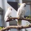 A kakadu tenyésztésének alapjai