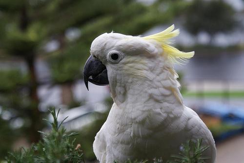 sarga-bobitas-kakadu-ausztralia
