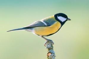 A széncinege (Parus major) a 2011-es év madara