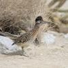 Kaliforniai földi kakukk vagy gyalogkakukk (Geococcyx californianus)