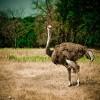 Tudnivalók a struccról (Struthio camelus)