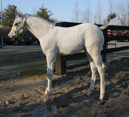albino-csiko