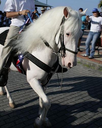 albino-csodor-paraden