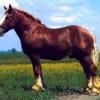 Lófajták: a muraközi ló