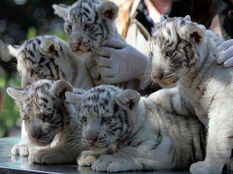 feher-tigris-kolykok