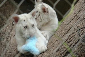 Egy Chílei fehér tigris 5 utódot hozott a világra!