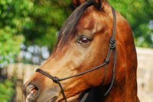 Az arab Al Khamsa ló: a ritka sivatagi gyöngyszem