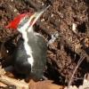 A kontyos feketeharkály (Dryocopus pileatus)