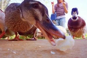 Ehet a kacsa kenyeret?