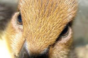 Vadkacsa (Anas platyrhynchos) - miről ismerjük fel?