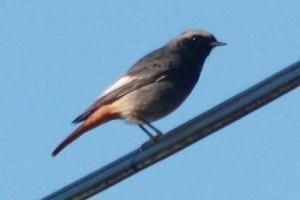 A házi rozsdafarkú madár (Phoenicurus ochrurus) hangja