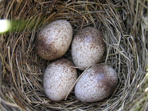 pacsirta-tojasok