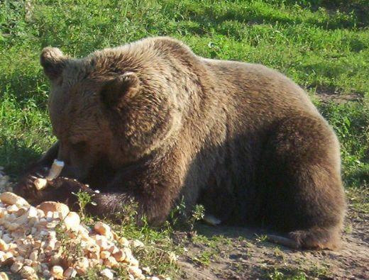 nagy-medve