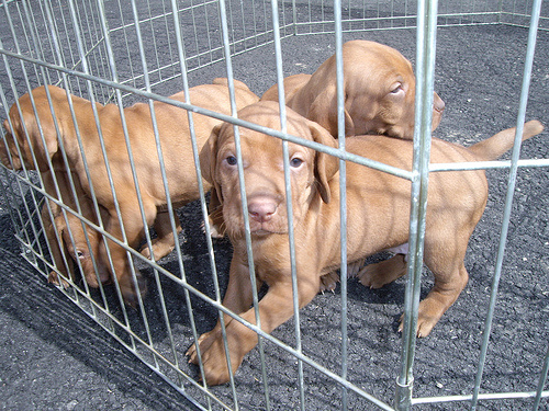 vizsla-puppies