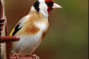 Az európai tengelic madár (Carduelis carduelis)