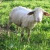 Juhtenyésztés: a cigája juh