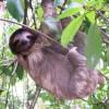 A Costa Rica-i háromujjú lajhár vagy más néven ai (Bradypus tridactylus)