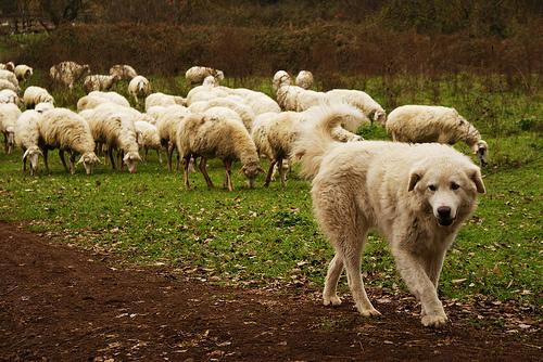 juhasz-kutya