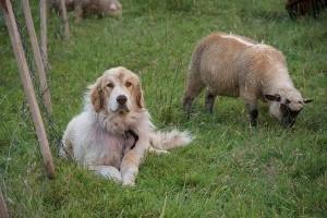 Magyar birkák kutyákat tanítanak beszélni