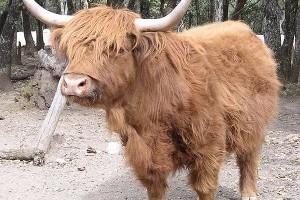A skót felföldi marha (Bos Taurus)