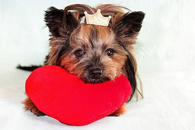 yorkshire-terrier-3996219_640