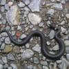 Ártalmatlan francia kígyók