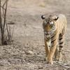 Az állatok szerepe India nemzeti jelképeiben