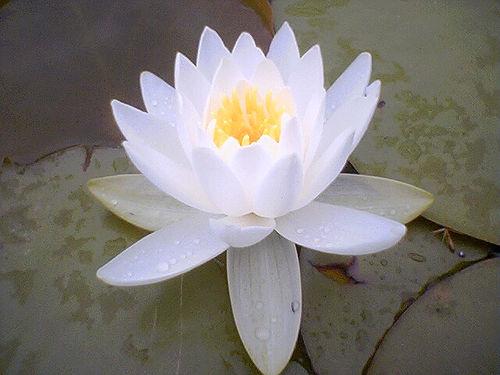 lotusz-virag
