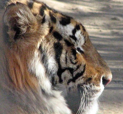 tigris-kep
