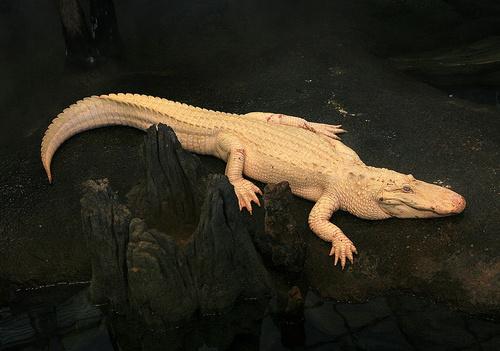 albino-aligator