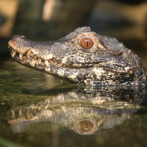 kis-krokodil