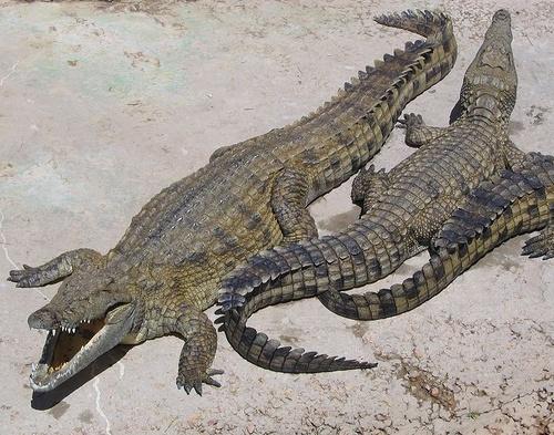 krokodil-kep