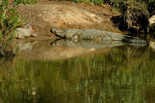 ket-orias-krokodil