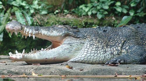 krokodil-kepek-cocodylus-porosus