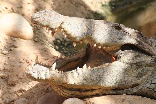krokodil-kepek-portre