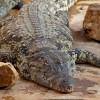 Krokodilfajok, avagy melyik a nagyobb óriáskrokodil?