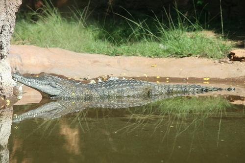nilusi-krokodil-kepek
